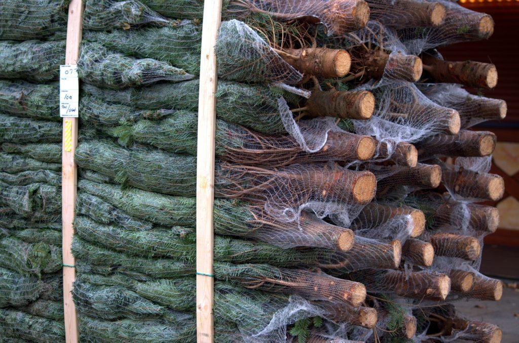 Kupujesz choinkę w doniczce, bo tak jest ekologicznie? To mit. Jakie drzewko kupić, żeby naprawdę być eko? I ile to kosztuje?